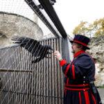 イギリス、崩壊か? ロンドン塔で飼育のカラス1羽が行方不明…6羽いないと国が崩壊する伝承