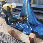 東京五輪ボート・カヌー会場に大量のカキが発生 除去費1億円超で大会後も重い負担に