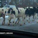 【話題】国道に牛75頭が爆走 目撃者「道路は牛でギュウギュウだったよハハハ」