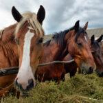 イギリス 「食肉用として日本に輸出される馬の輸送環境が劣悪。馬肉を食べることを禁止するべき」