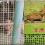 コロナで経営難の中国の動物園 ゴールデンレトリバーをライオンとして展示 ネコ科ですらない