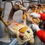 鴨の肝臓を採るフォアグラ工場がある(画像あり)