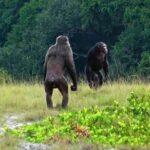 「野生のチンパンジーがゴリラを殺害」世界初の報告がされる  [156193805]